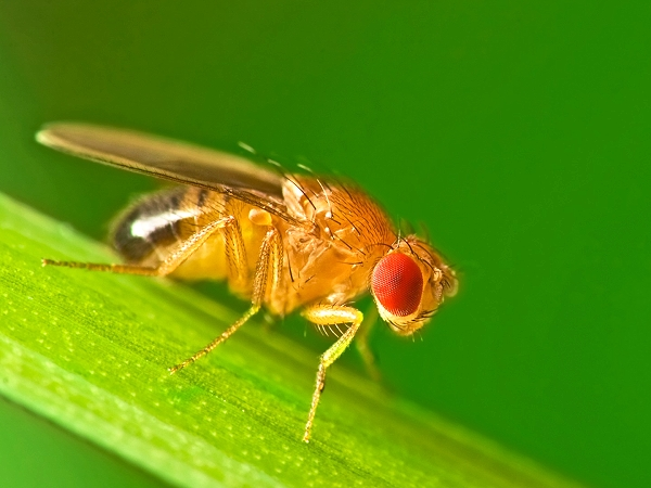 Large-Size Fruit Fly (Drosophila melanogaster)